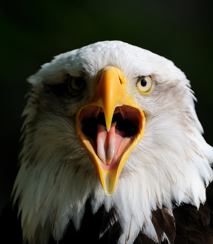 Everything you know about bald eagles is wrong