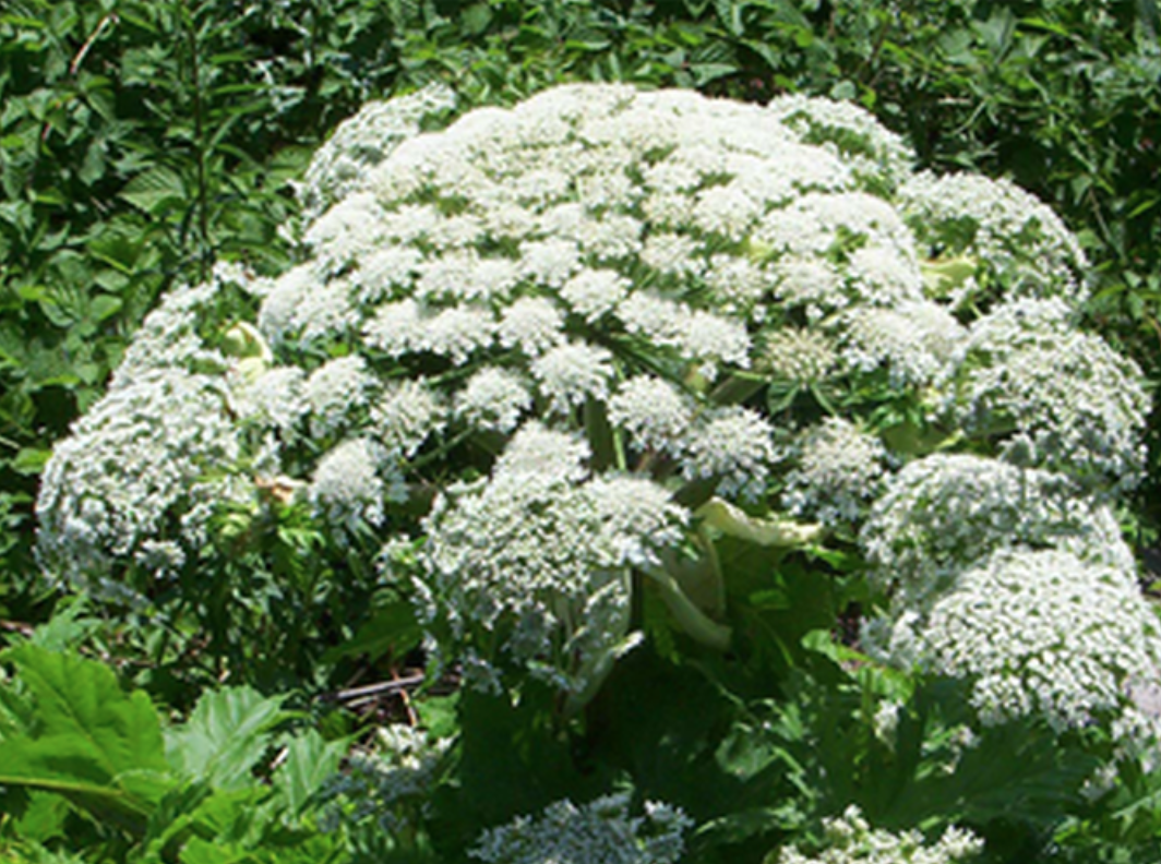 13 Toxic Wild Plants That Look Like Food | Outdoor Life