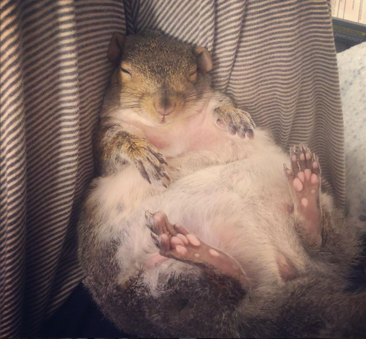 How A Pair Of Wildlife Rescuers Ended Up With A Chubby Pet Squirrel Named Thumbelina Popular Science