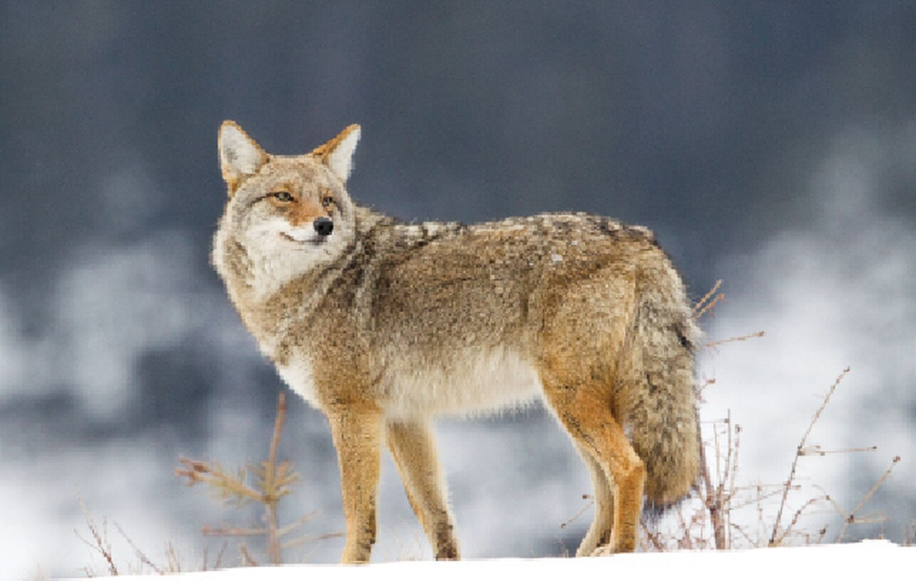 Coyote Hunting basics and on a budget