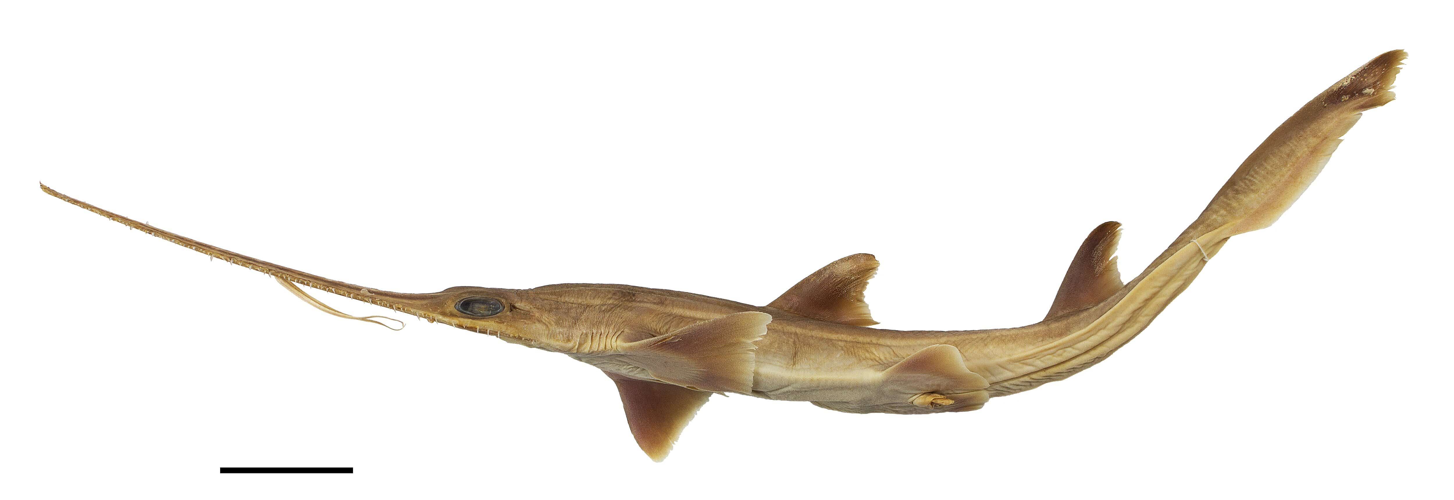 Scientists discover two new shark species with chainsaw-like noses
