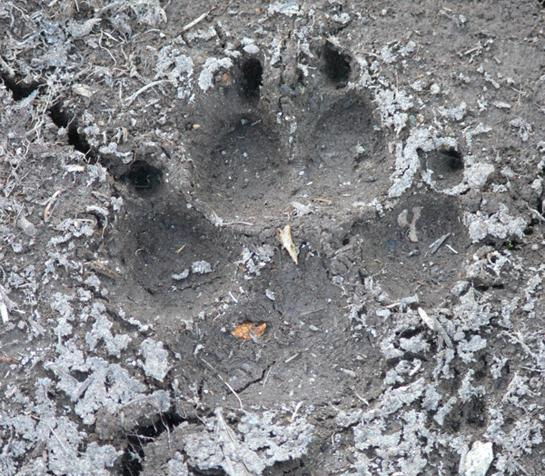 How to identify the tracks of 10 common North American animals