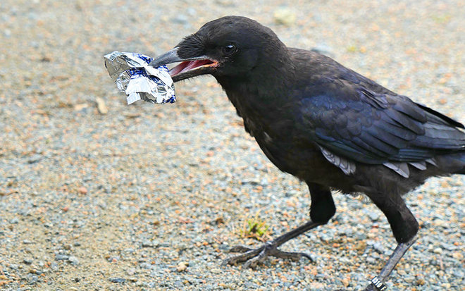 We trained crows to pick up garbage, but can we teach ourselves?