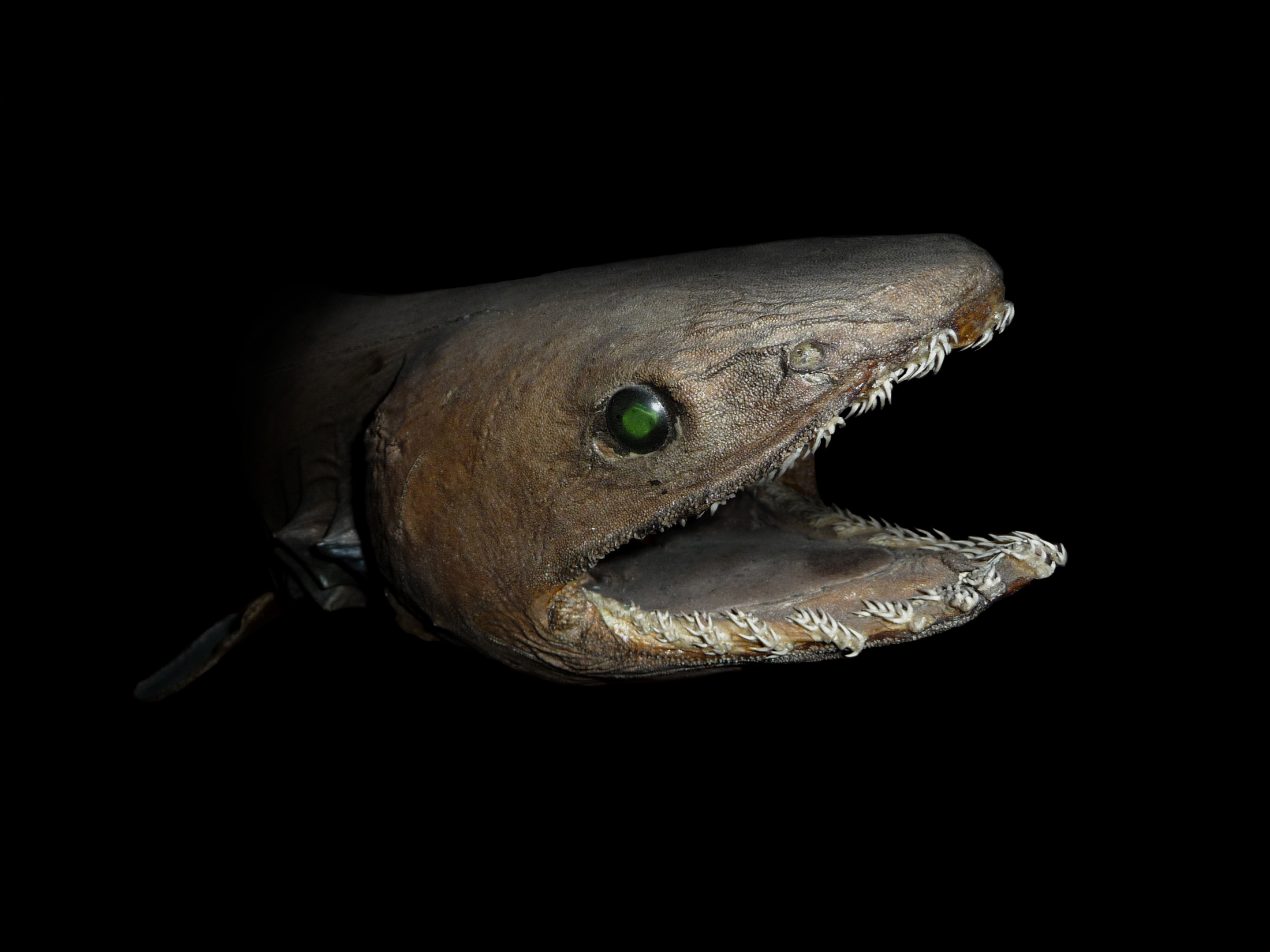 Yes, the frilled shark is really freaky. But there are other 'living fossils' that are just as weird.