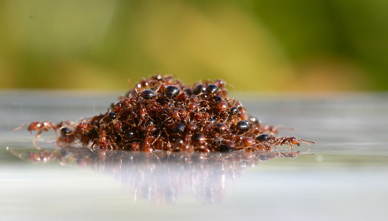 The terrifying way fire ants take advantage of hurricane floods