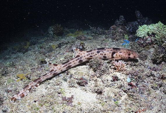 These adorable sharks have evolved to walk across the seafloor