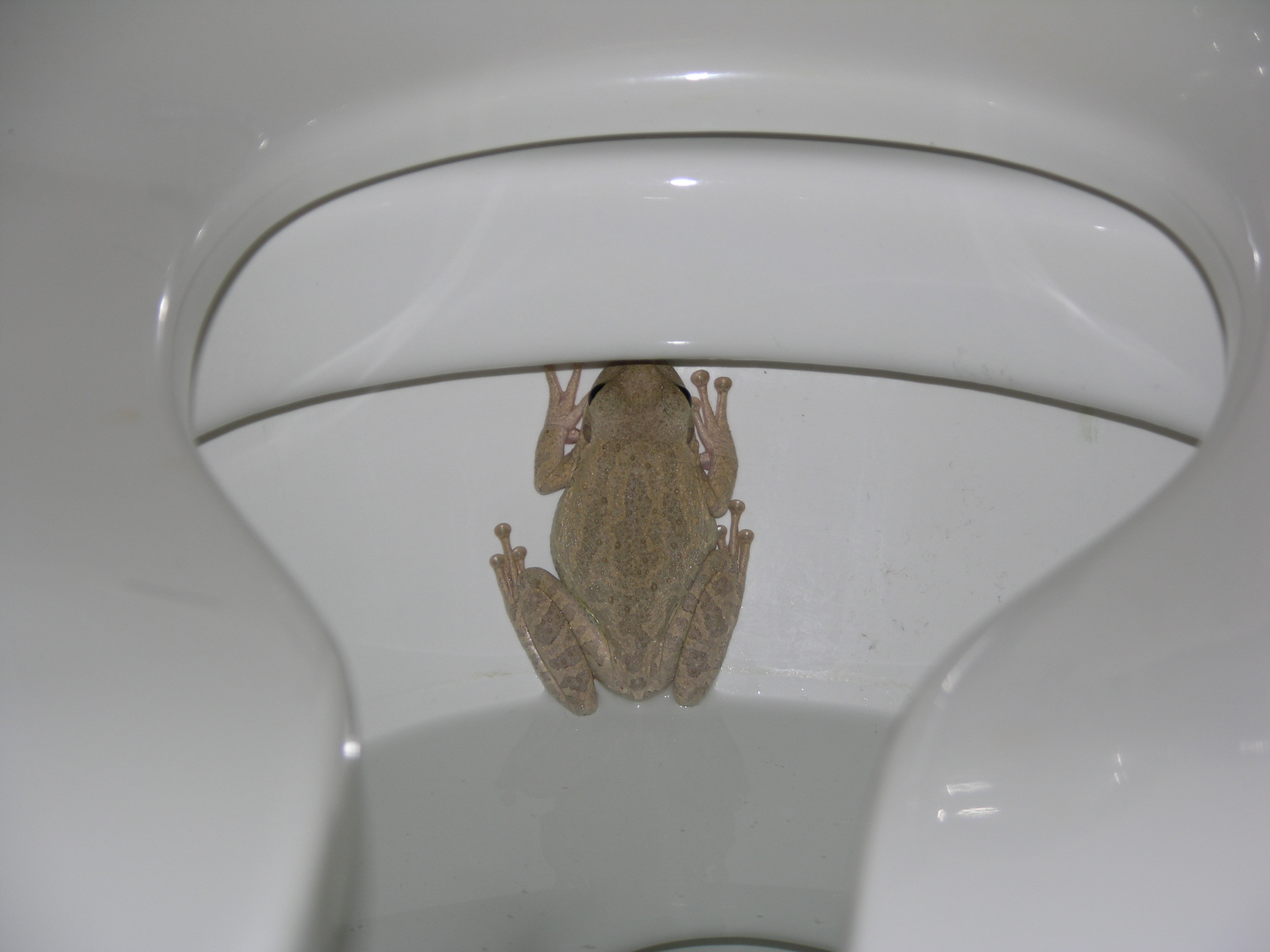 Invasive treefrogs have snuck into Louisiana and they are not good