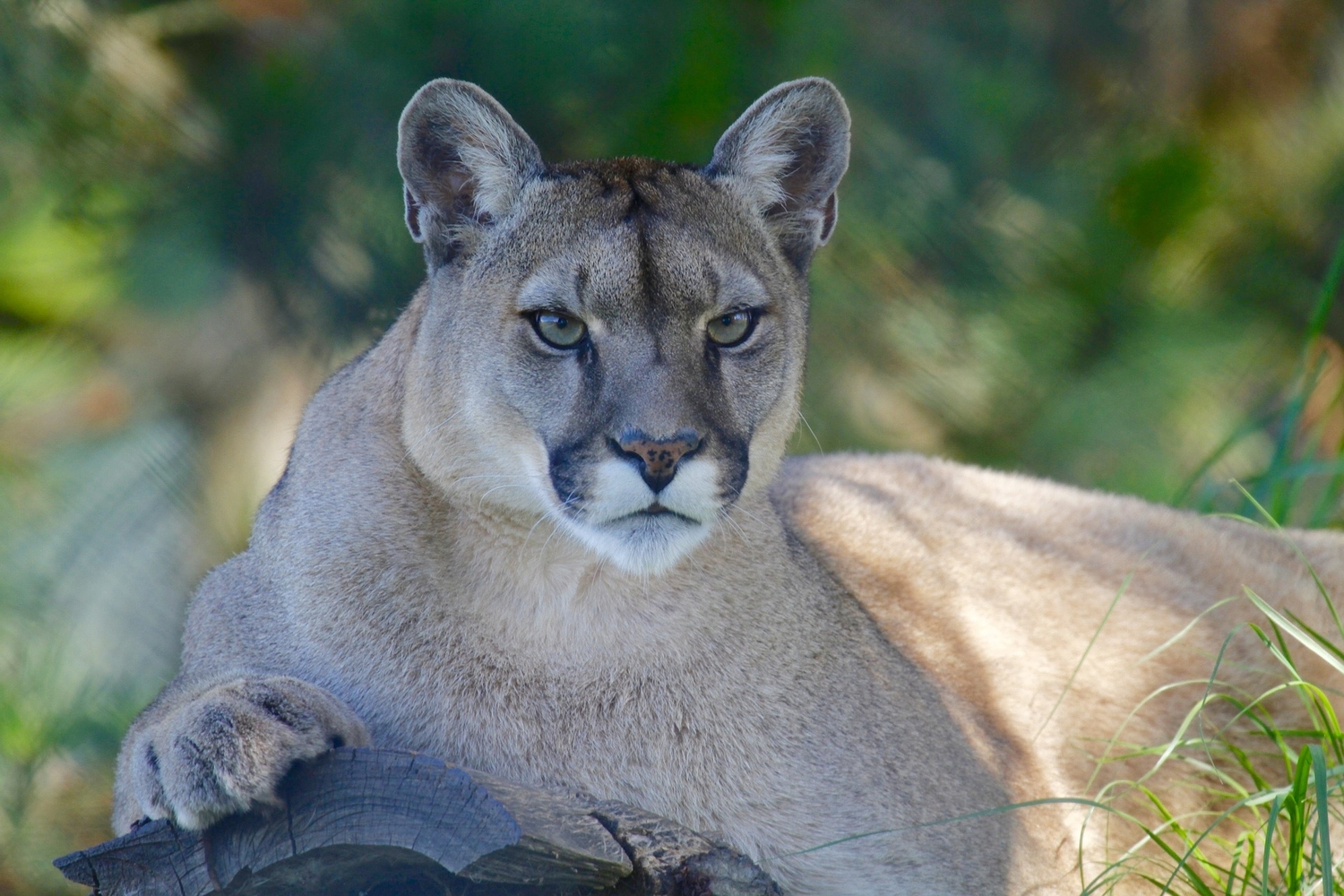 How to survive a mountain lion encounter
