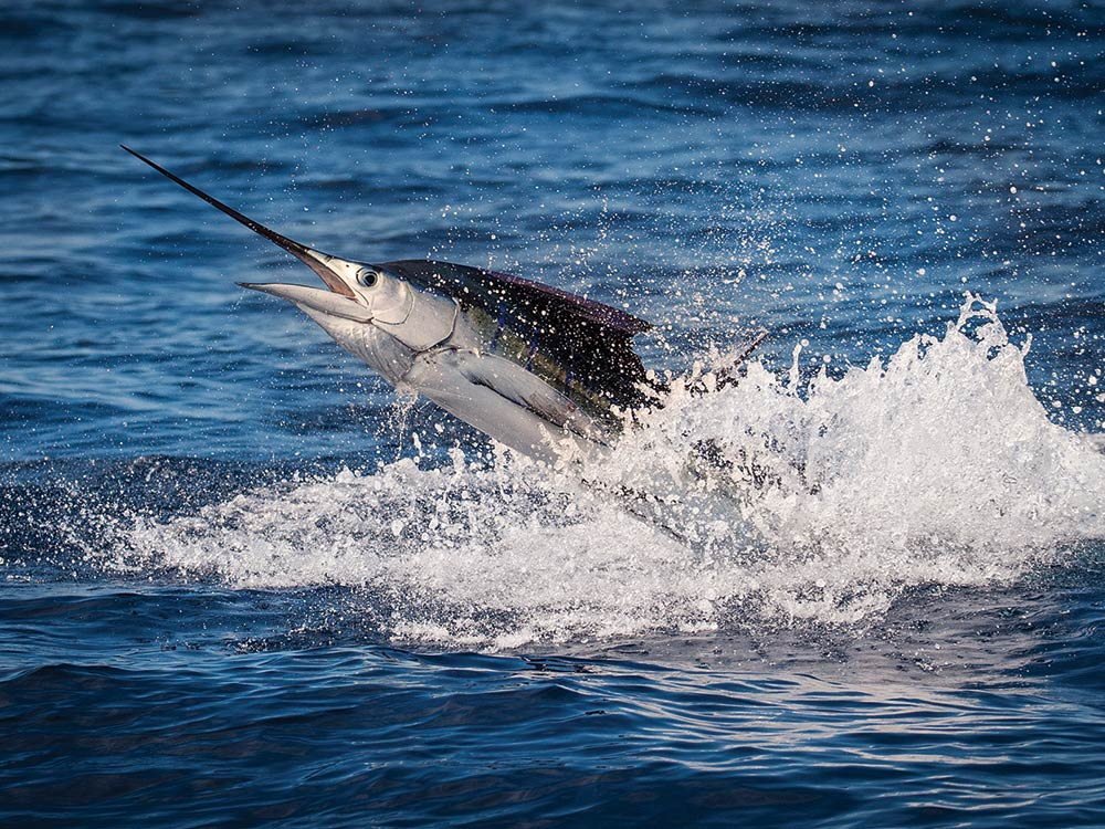 Florida Keys Sailfish Fishing With Live Ballyhoo | Marlin