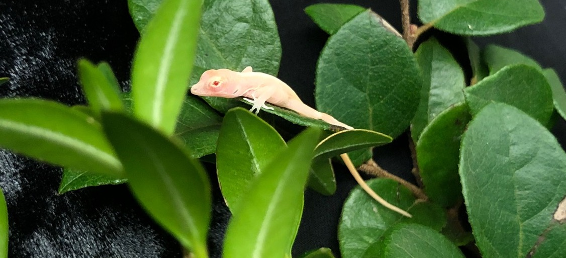 Megapixels: CRISPR turned these lizards into ghosts