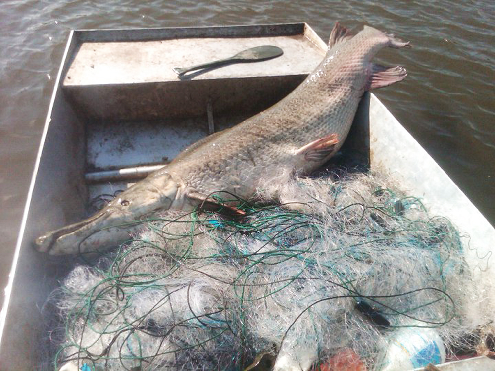 World Record Alligator Gar Pulled From Mississippi Lake Tangled in