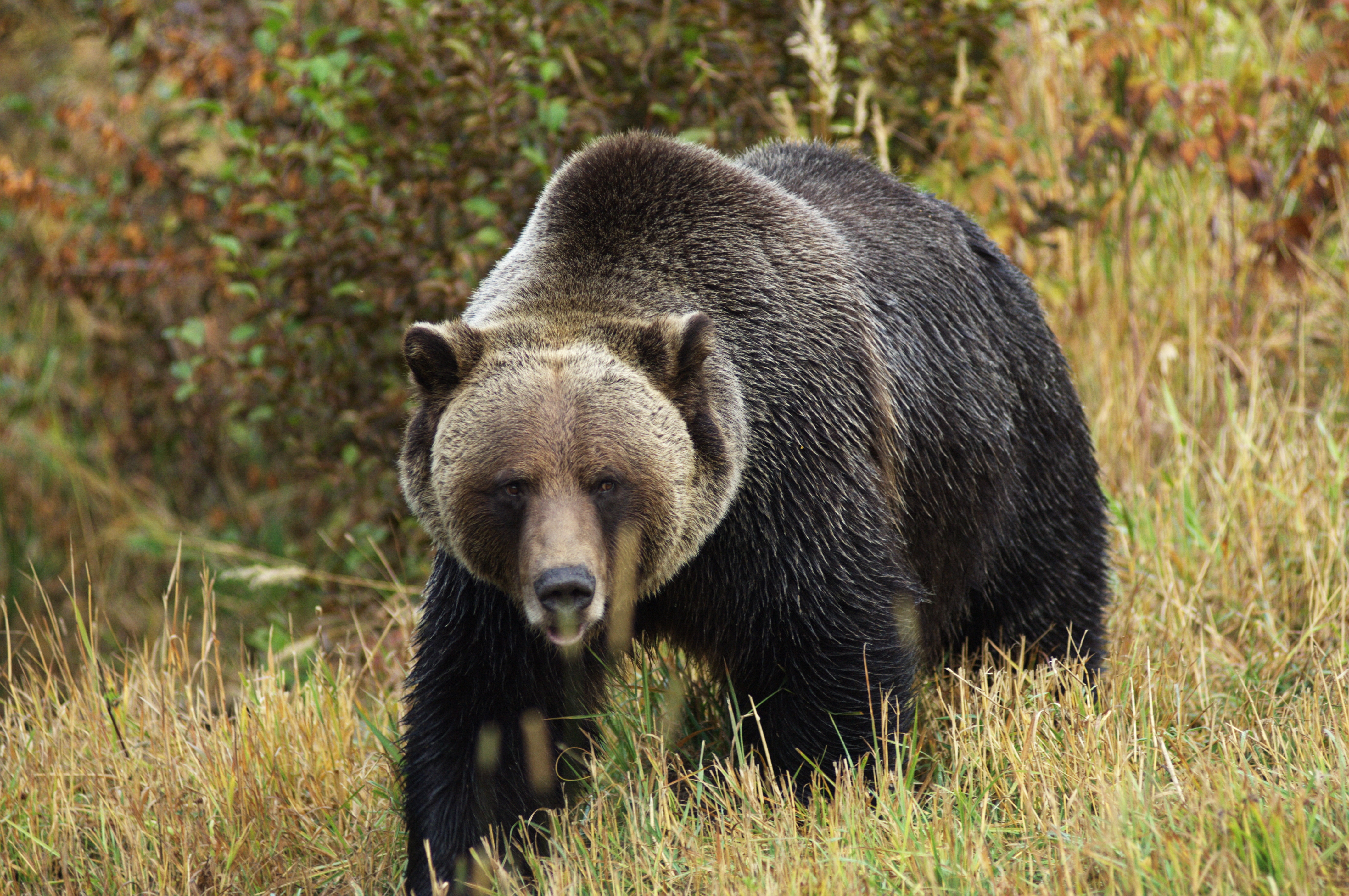 An Expert's Guide on How to Stay Alive in Grizzly Bear