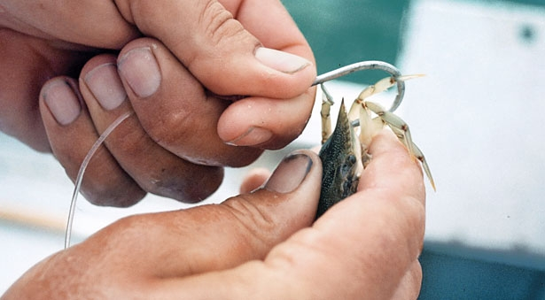 Using Crabs as Bait | Sport Fishing Magazine