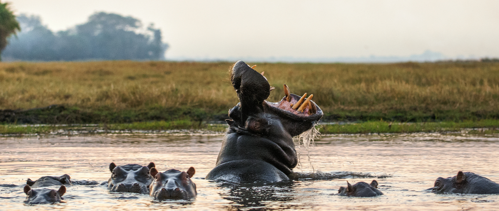 The world secretly runs on hippo poop