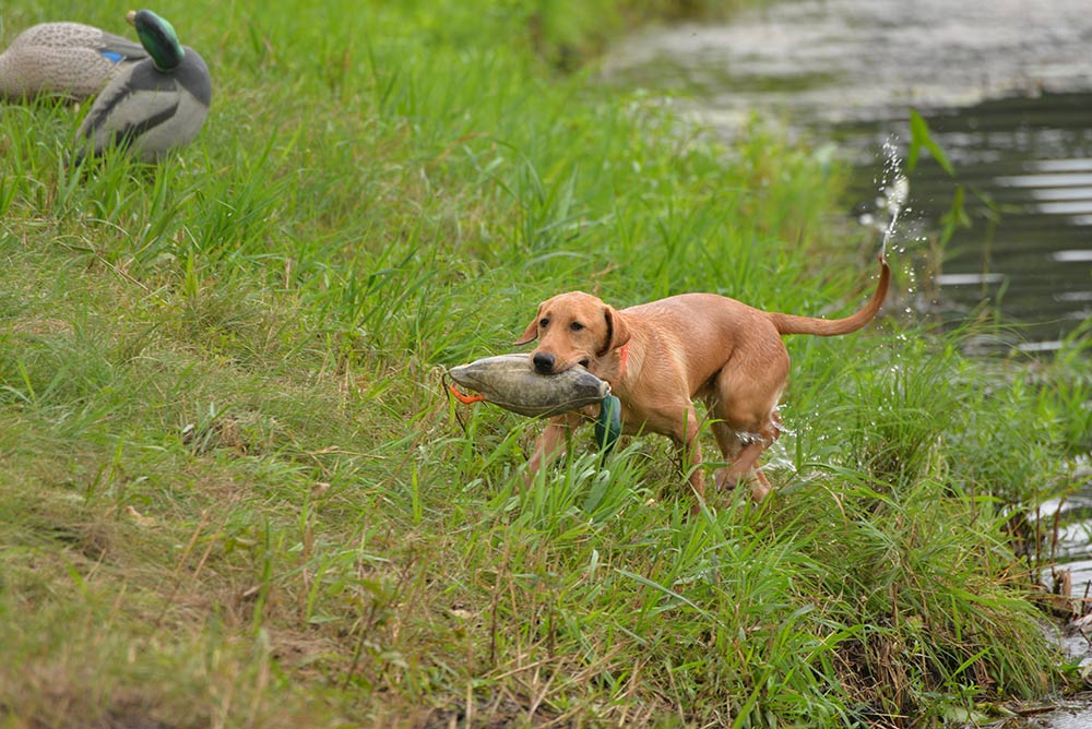 8 Ways To Ruin Your Duck Hunting Dog Outdoor Life