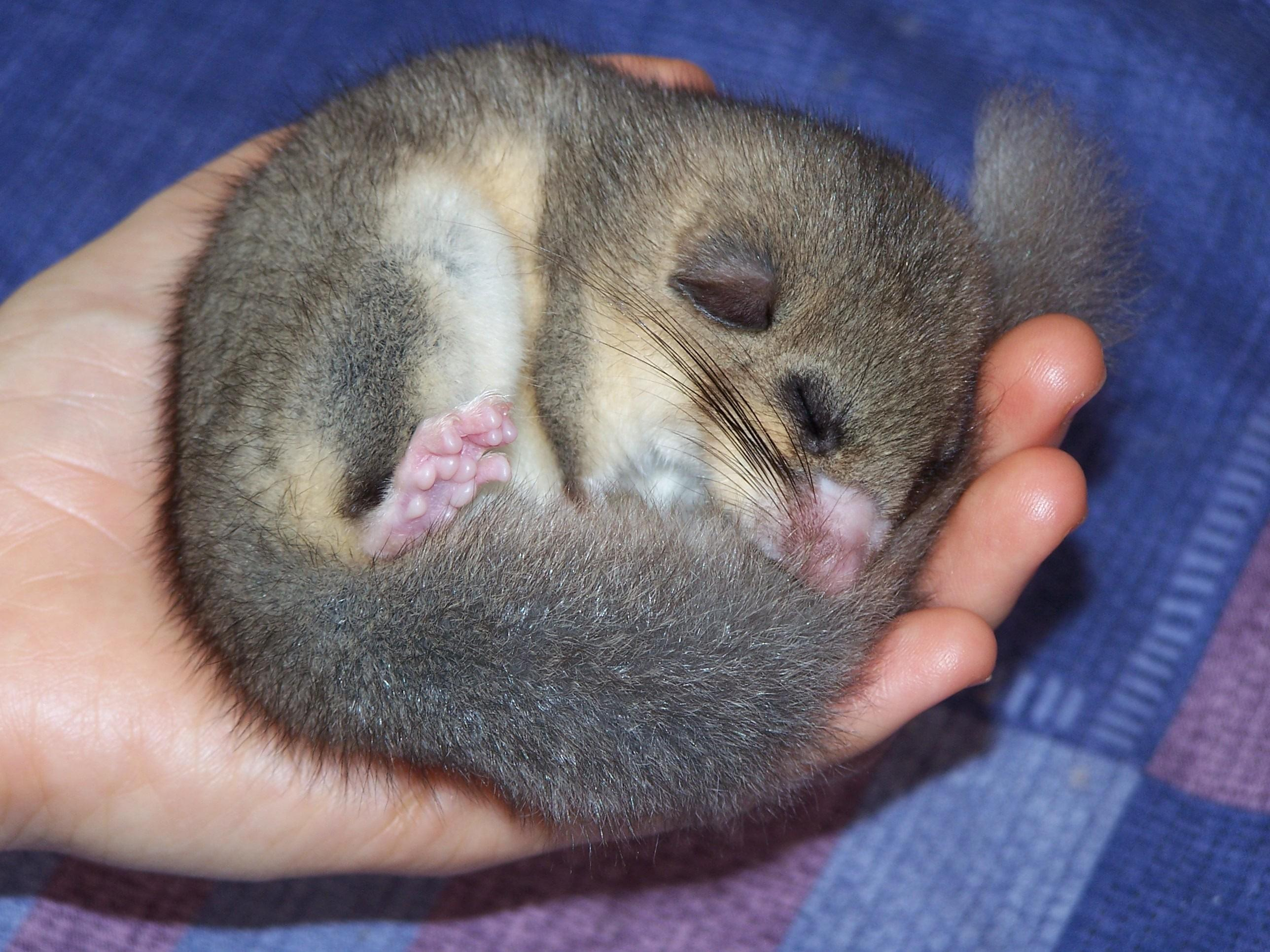 Image result for Fat Dormouse sleeping