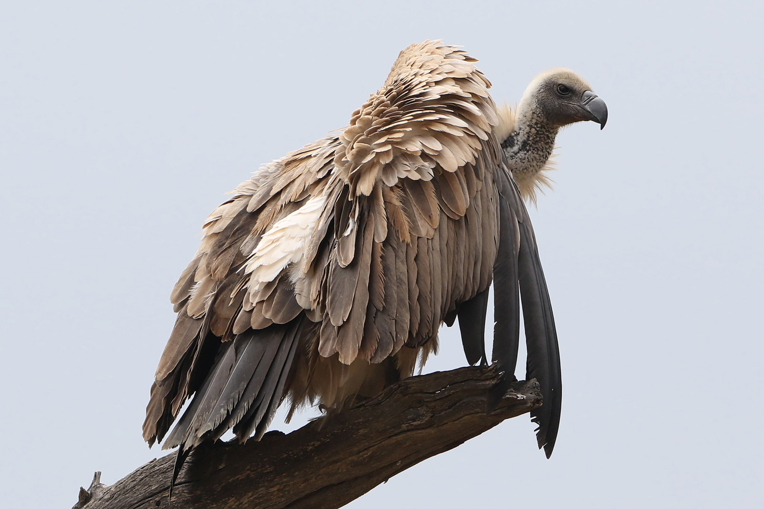 Vultures are going extinct because people won't stop consuming their brains