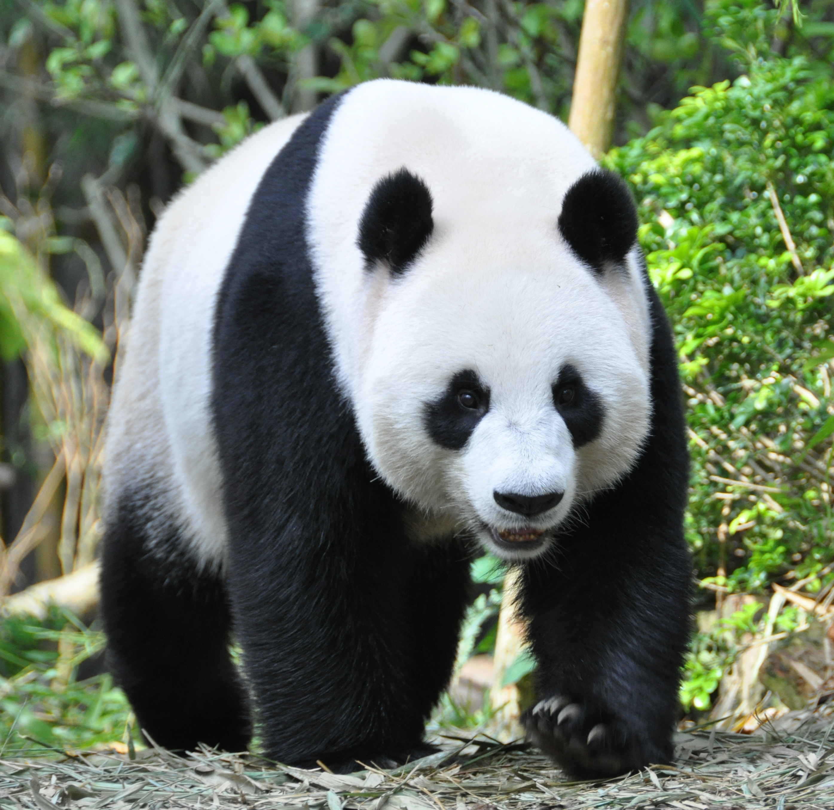 Sneaky Panda Fakes Pregnancy For Extra Treats And Attention