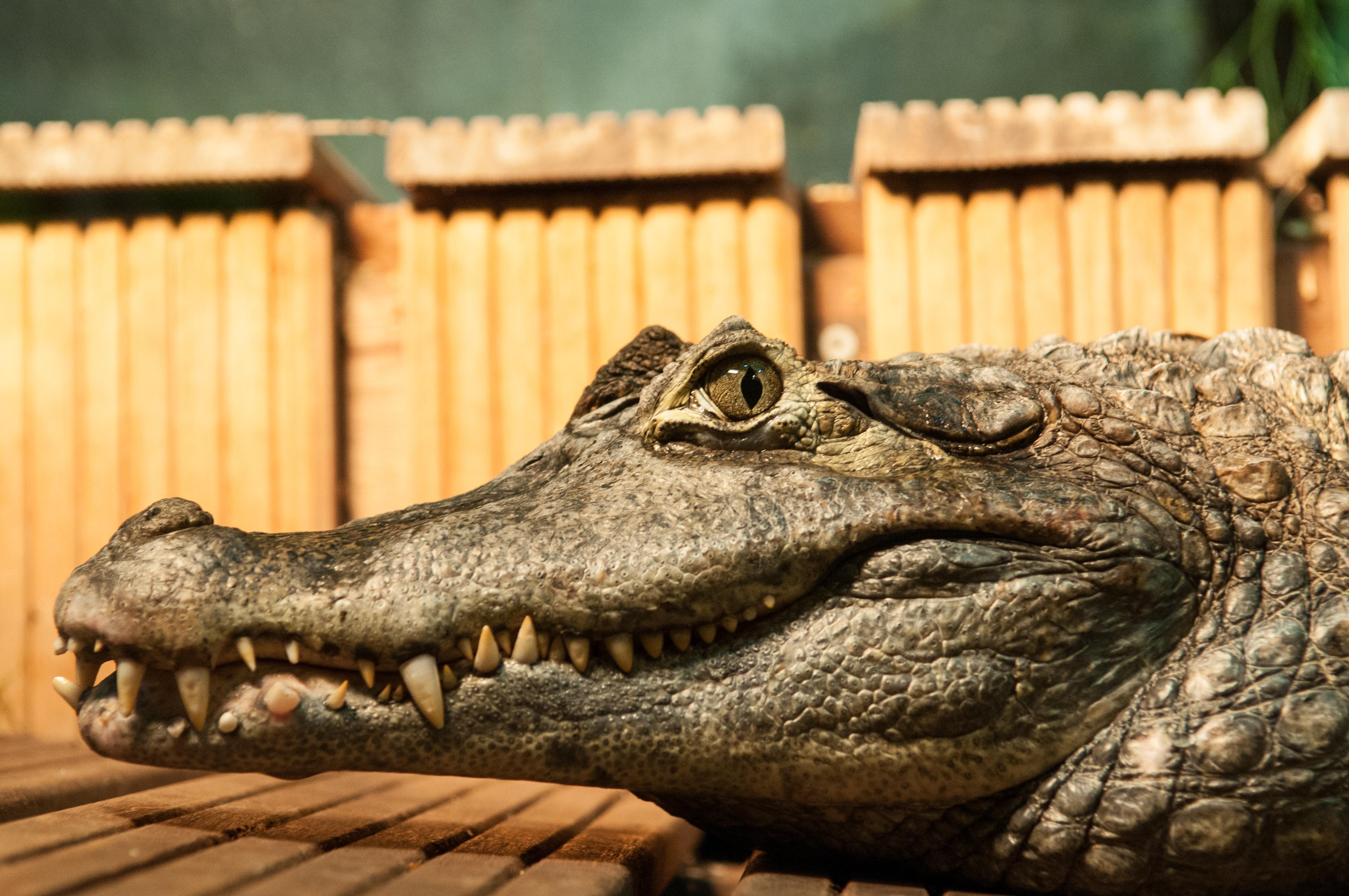 Делать картинки, картинки смешных крокодилов