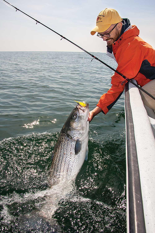 Bear Stripers striped bass season and migration | salt water sportsman