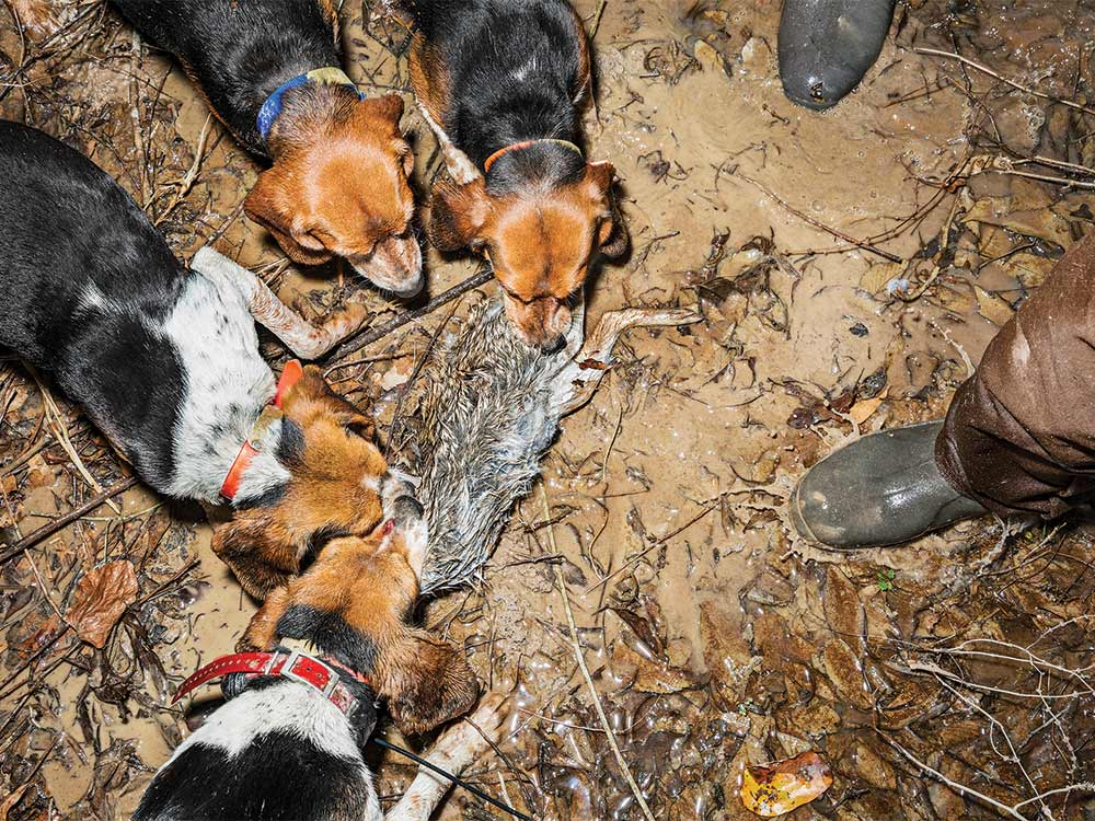 The Swamp Runners: Rabbit Hunting in Alabama Swamps   Field