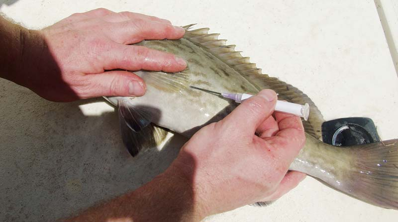 Mustad Fish Venting Fizzing Tool Grouper Snapper Saltwater Gamefish Ventilator
