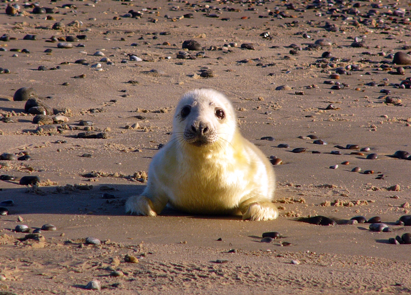 Gray seals are making a huge comeback