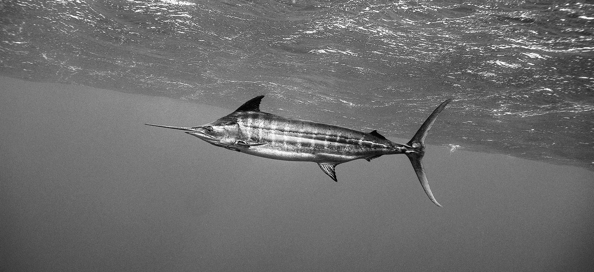 The Biology and Mystique of Blue Marlin   Marlin Magazine