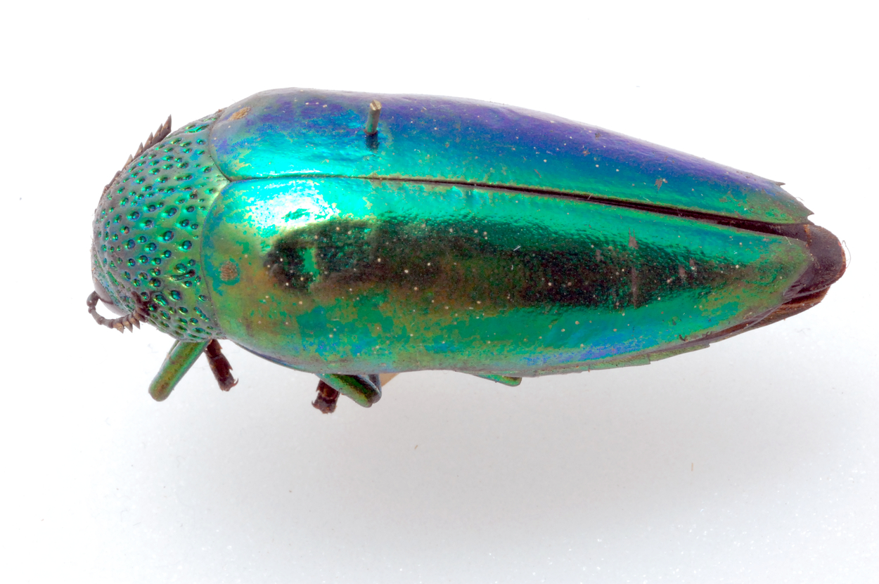 To remain hidden, these beetles sparkle